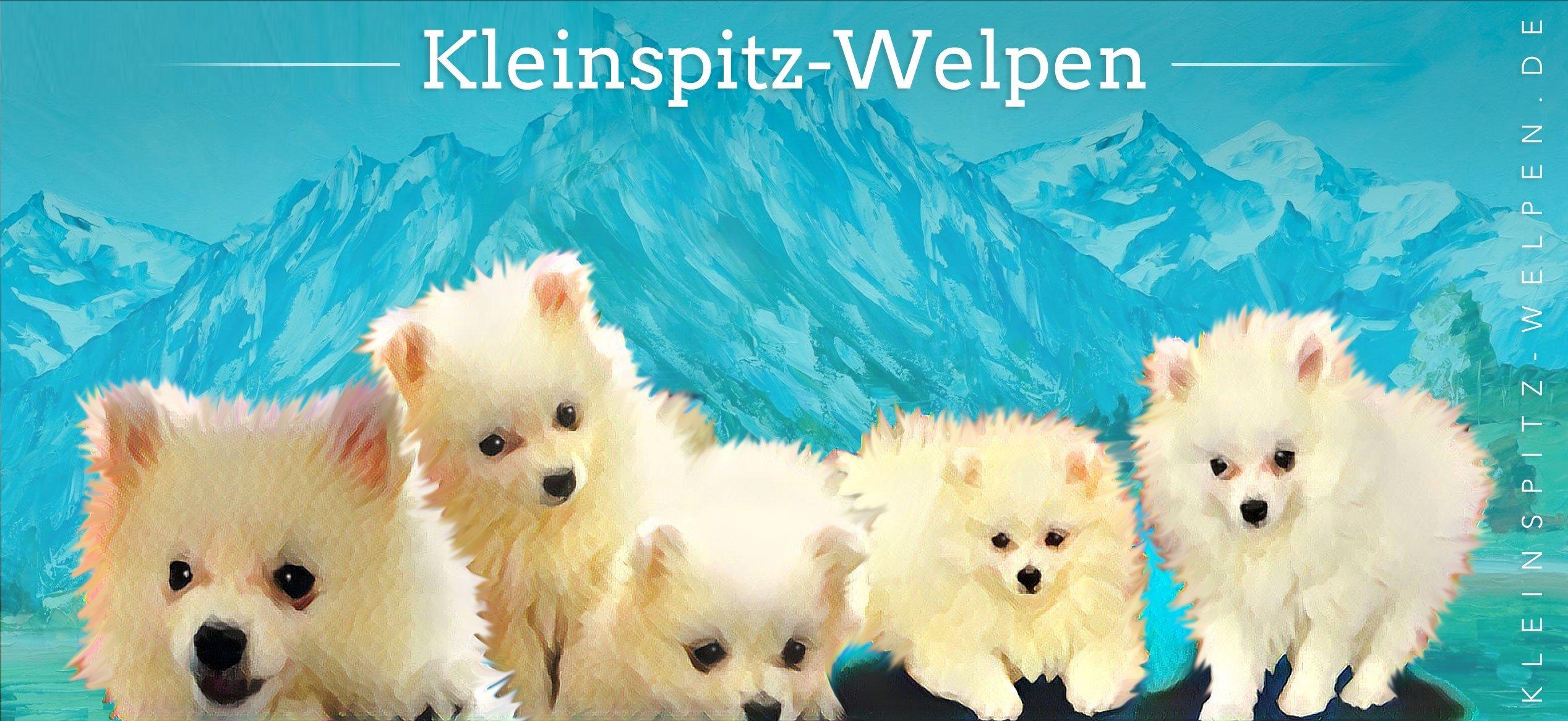 Kleinspitz-Welpen.de  – reinrassige, weiße Kleinspitz Zucht